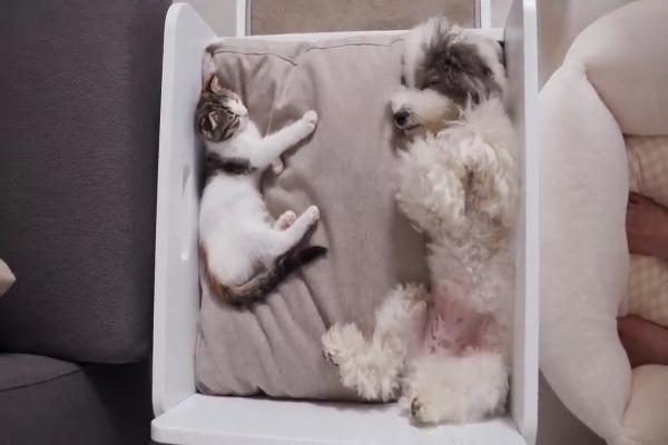 Un cucciolo di cane abbraccia gattino e si addormentano insieme (VIDEO)