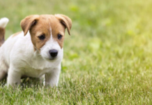 cucciolo di cane che mangia la cacca