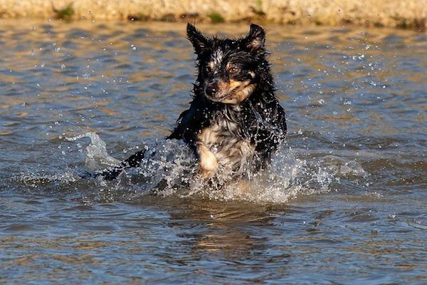 cucciolo di cane si tuffa in acqua