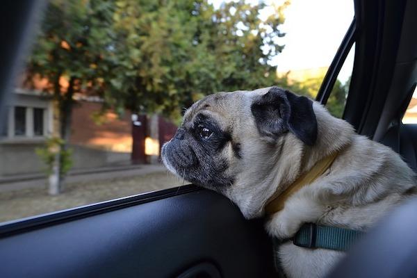 cane curioso esplora il mondo dal finestrino