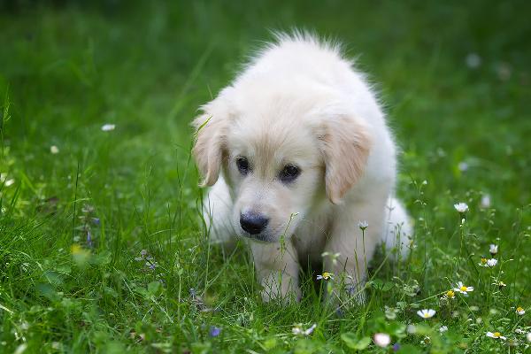 Cucciolo di cane mangia la cacca: come mai e come evitarlo