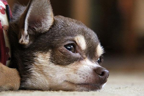 Cucciolo di cane non vuole mangiare: perché e cosa bisogna fare