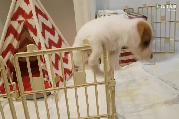 Cucciolo di cane prova a fuggire con scarso successo(VIDEO)