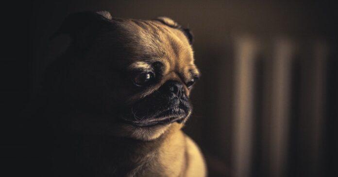 cane triste perché respira male