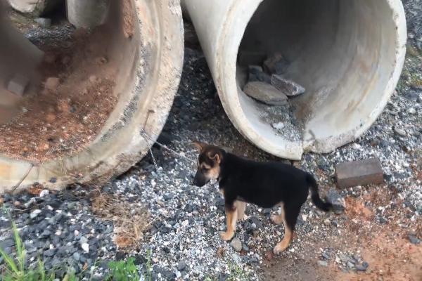 Cucciolo di pastore tedesco abbandonato e legato in un cantiere(VIDEO)
