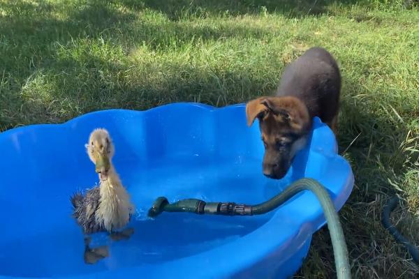 Cucciolo di pastore tedesco incontra cucciolo di oca per la prima volta(VIDEO)