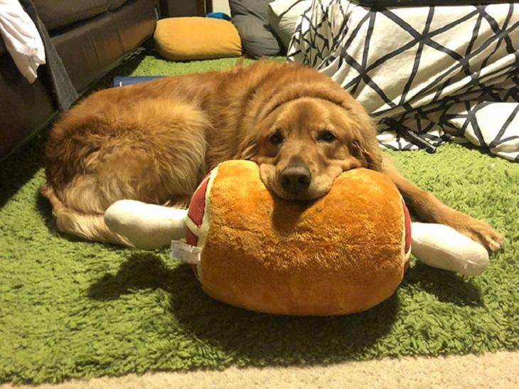 poi cane golden retriever adora giocattoli