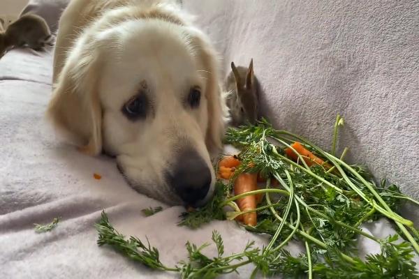 Golden retriever mangia carote con i suoi amici(VIDEO)