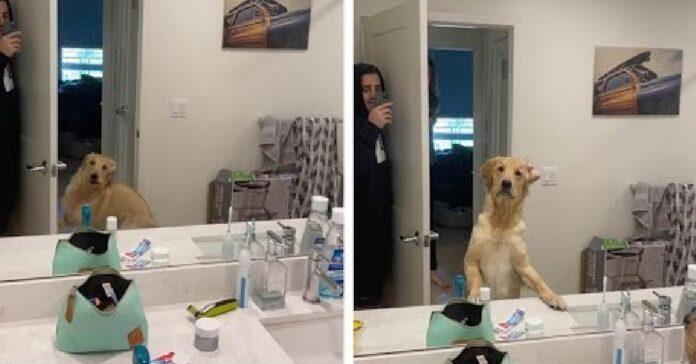 golden retriever trova papà grazie specchio
