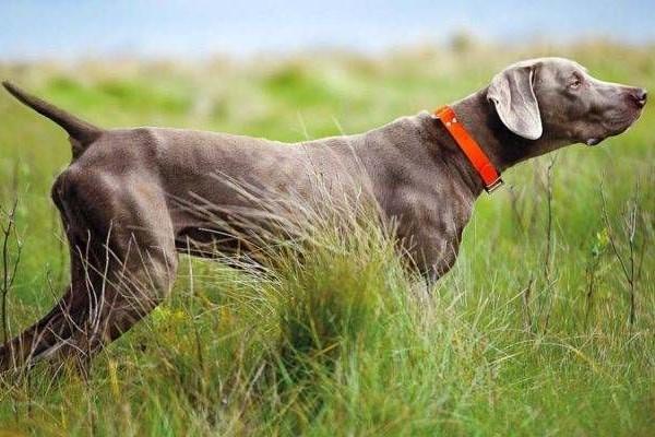 weimaraner cane da ferma