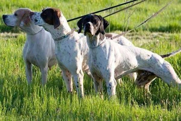 tre cani da caccia al guinzaglio
