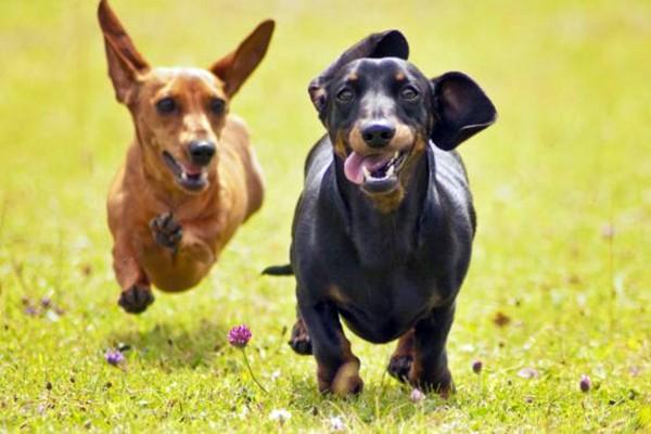 Cani da caccia, immagini e fotografie che lasciano davvero a bocca aperta