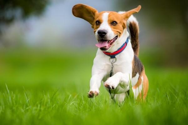 beagle che corre sul prato