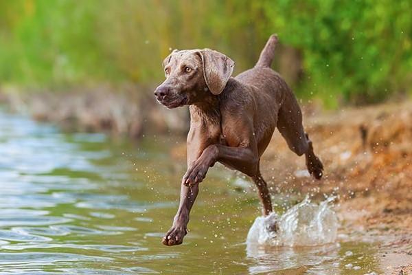 weimaraner che corre in acqua