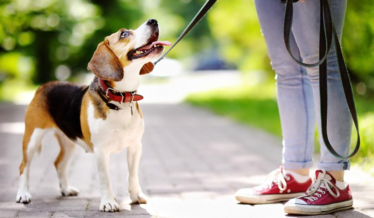 addestramento del beagle