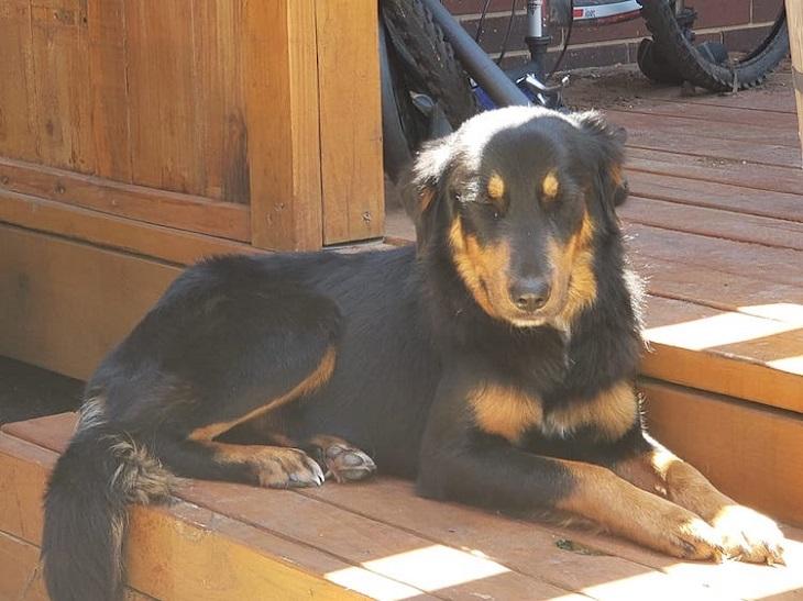 iris cane pronta adozione rifugio