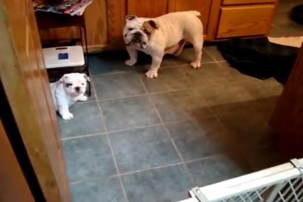 Mamma e figlio Bulldog inglese giocano insieme (VIDEO)