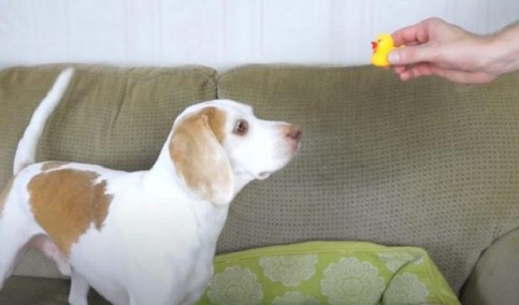 maymo cane lemon beagle video