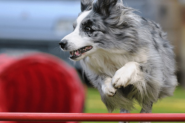 gara di agility per cani