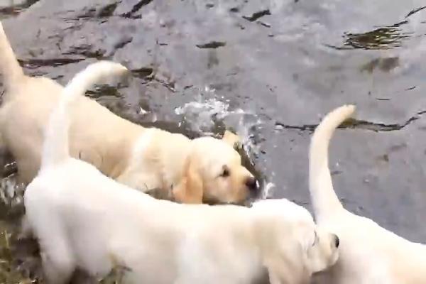 Papà cane insegna ai suoi cuccioli a nuotare nel lago (VIDEO)