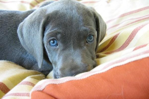 Pulire gli occhi di un cucciolo di cane: come fare, con attenzione