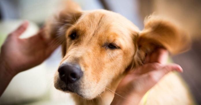 pulire le orecchie di un cucciolo di cane