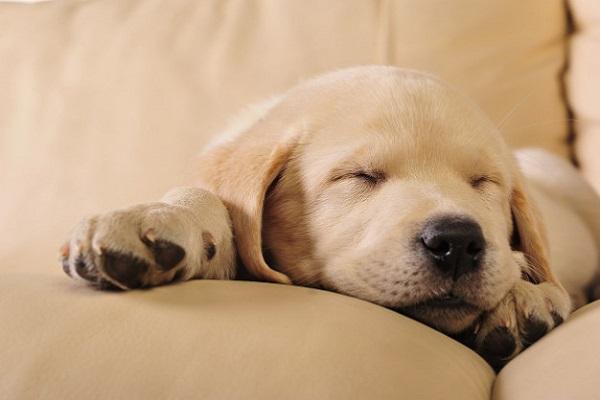 cucciolo di cane che dorme su divano