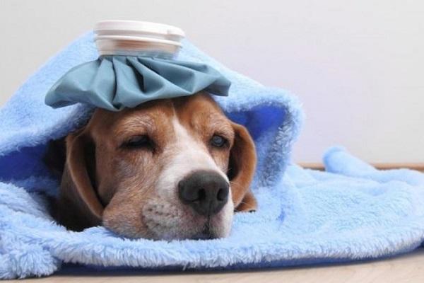 cane cn borsa del ghiaccio in testa