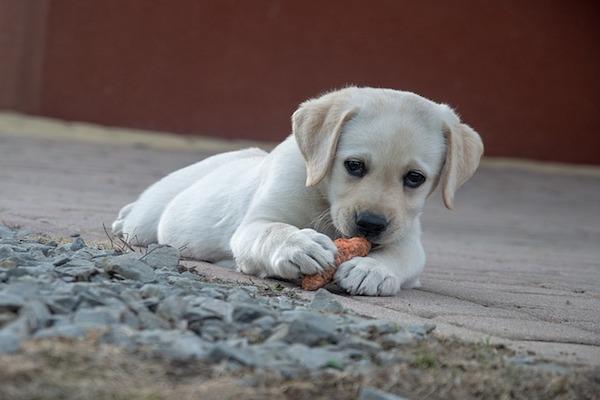 cagnolino gioca con osso
