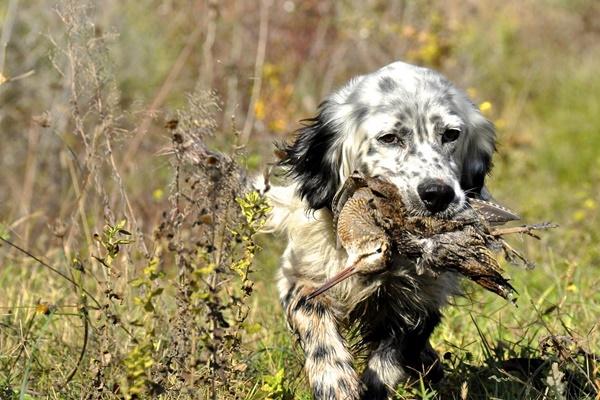 Setter per beccacce: tutti i cani della razza adatti a questo tipo di caccia