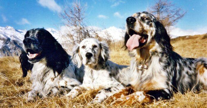 tre cani da caccia