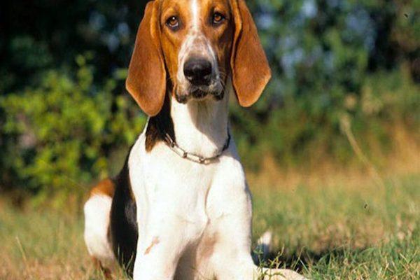 cane da caccia con sguardo curioso