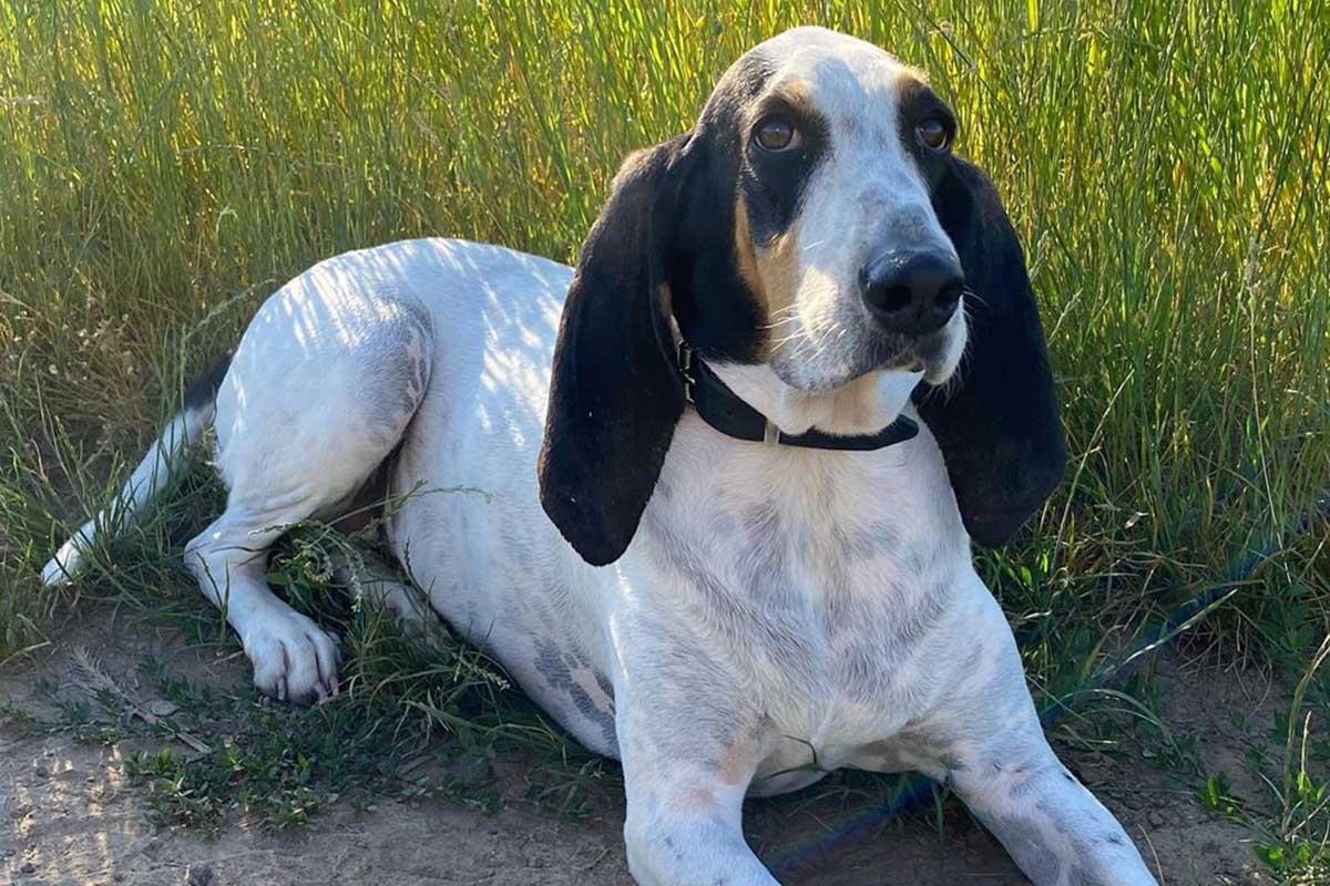 Ariégeois, toelettatura: cosa sapere per rendere perfetto il manto di questo cane