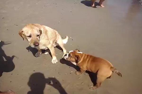 Bulldog inglese va al mare per la prima volta (VIDEO)