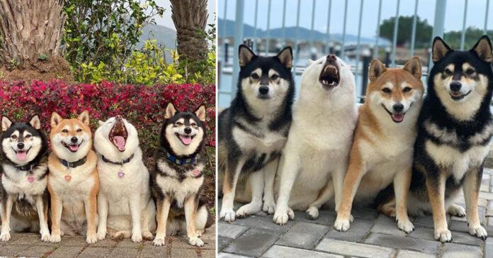 4 Shiba Inu in posa per una foto