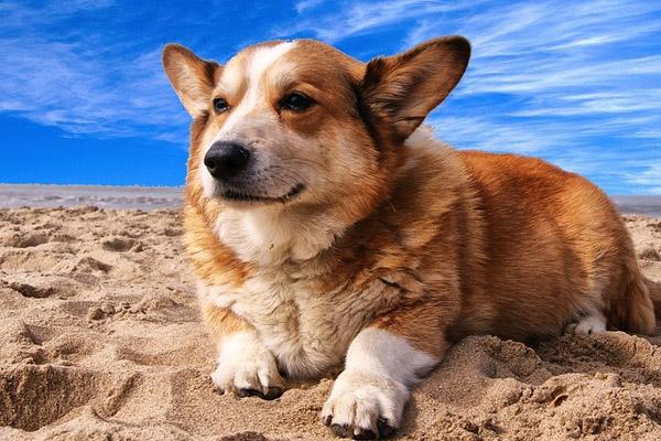 Cane Corgi sdraiato in una spiaggia