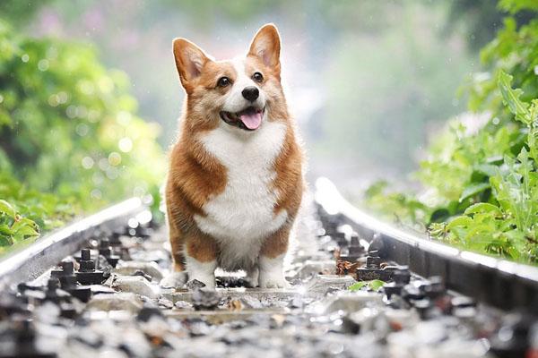 Cane Corgi che cammina