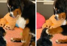 Bovaro del Bernese gioca con cucciolo