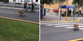 Bulldog che va su uno skateboard