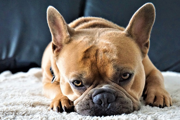 Bulldog sdraiato