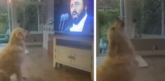 Golden Retriever osserva Pavarotti