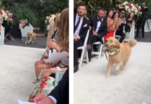 Golden retriever ad un matrimonio