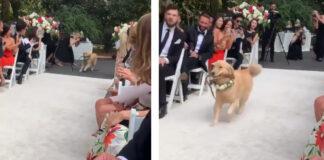 Golden retriever ad un matrimonio