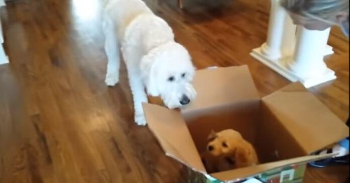 Goldendoodle con un un cucciolo