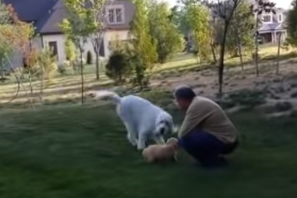 Il Goldendoodle conosce il nuovo cucciolo di casa e 8 milioni di persone impazziscono (video)