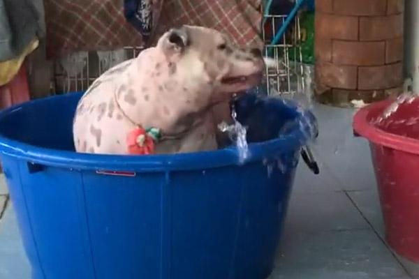 Il cagnolino amante dell'acqua affronta un percorso ad ostacoli (video)