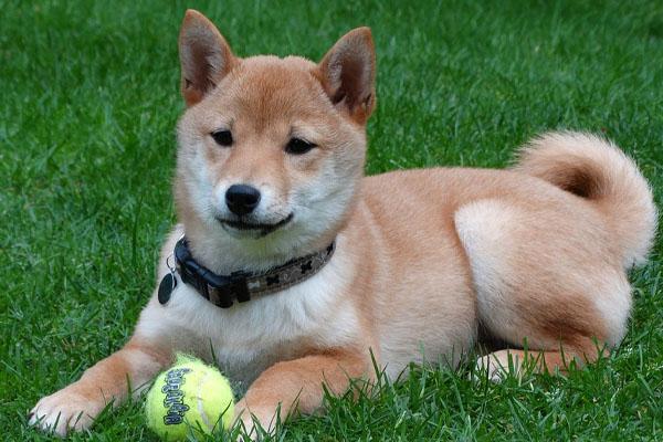Cagnolino che gioca con una pallina
