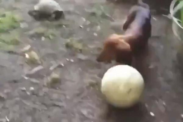 Cagnolino gioca con una tartaruga a palla