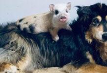 Cagnolino con un maialino