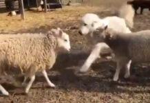 Cane Maremmano con pecore